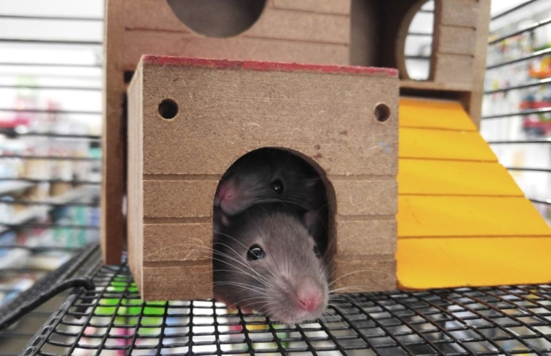 Are Pet Rats Nocturnal and Do They Sleep At Night - They actually change routines according to their owner!
