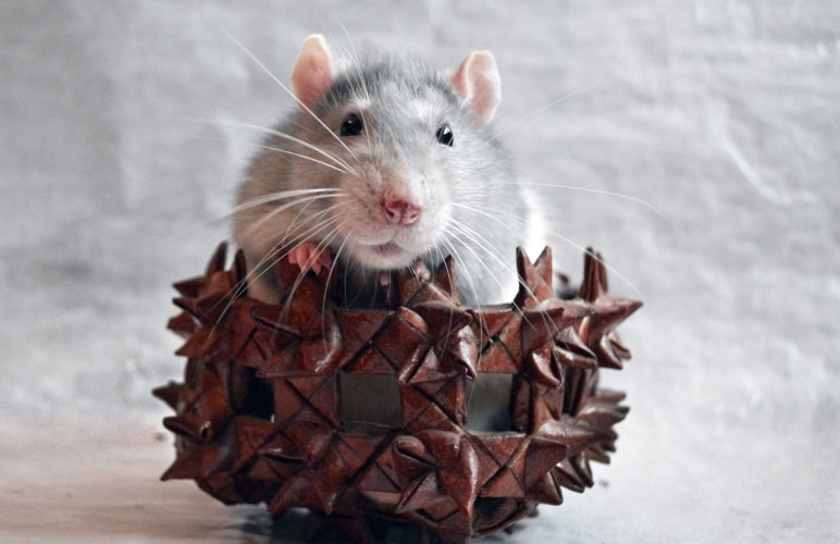 Choosing how many adorable pet rats to get can be a hard choice, let me help you!