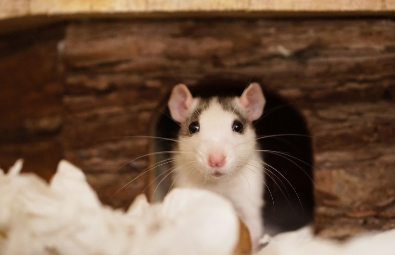 How well do pet rats actually recognize their owner - better than you think!