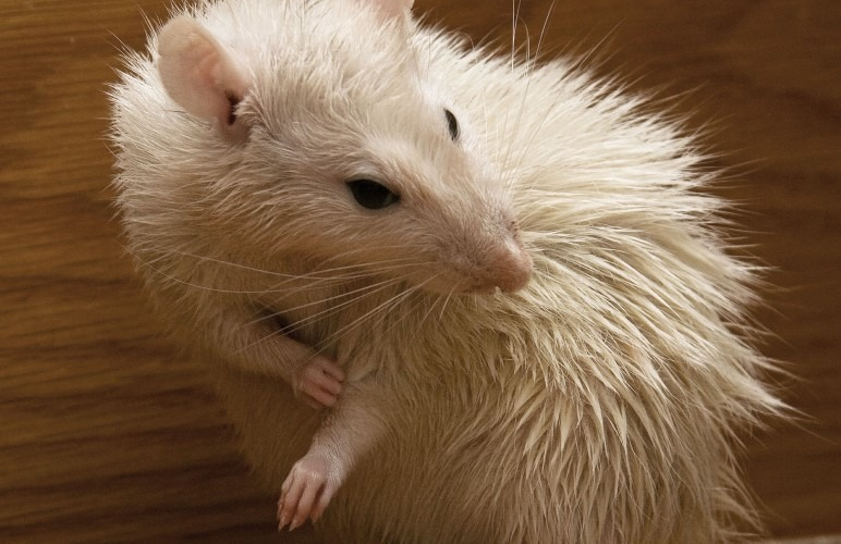 Introducing a Pet Rat to water is easier than it seems! But there are some things to watch out for.