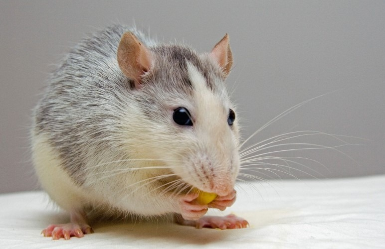 Pet Rats can bite sometimes, but there are differences between biting and nibbling!