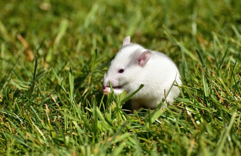 Pet rats are usually very clean and safe to handle, but if you want to help your pet rats clean themselves, here's how!