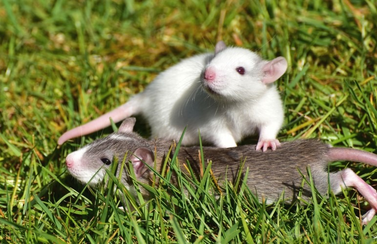 Your pet rats will love to do all sorts of playfun things with eachother. Like Treasure Hunts or Fishing for peas!