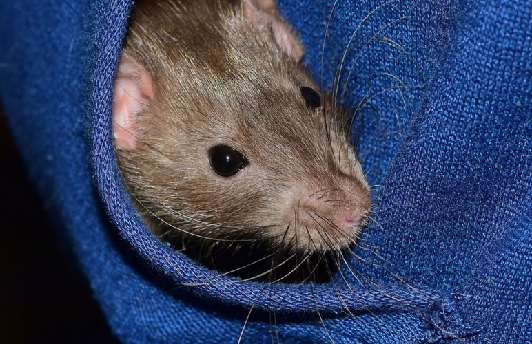 A Hiding Place for a pet rat can be a wonderful Toy, they like to feel safe and explore!