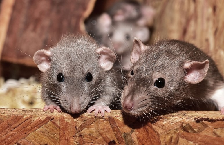 Pet rats can be somewhat noisy at night, but nothing major. Digging or a squeaky wheel can make some noise though.
