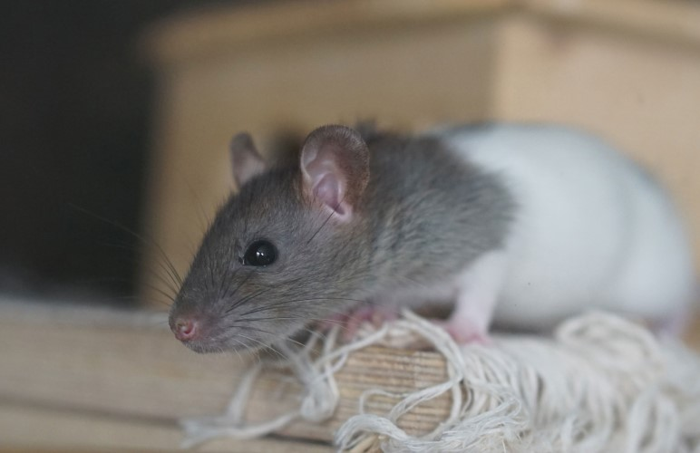 Teaching your pet rat to swim can help them have fun in water, here's how!