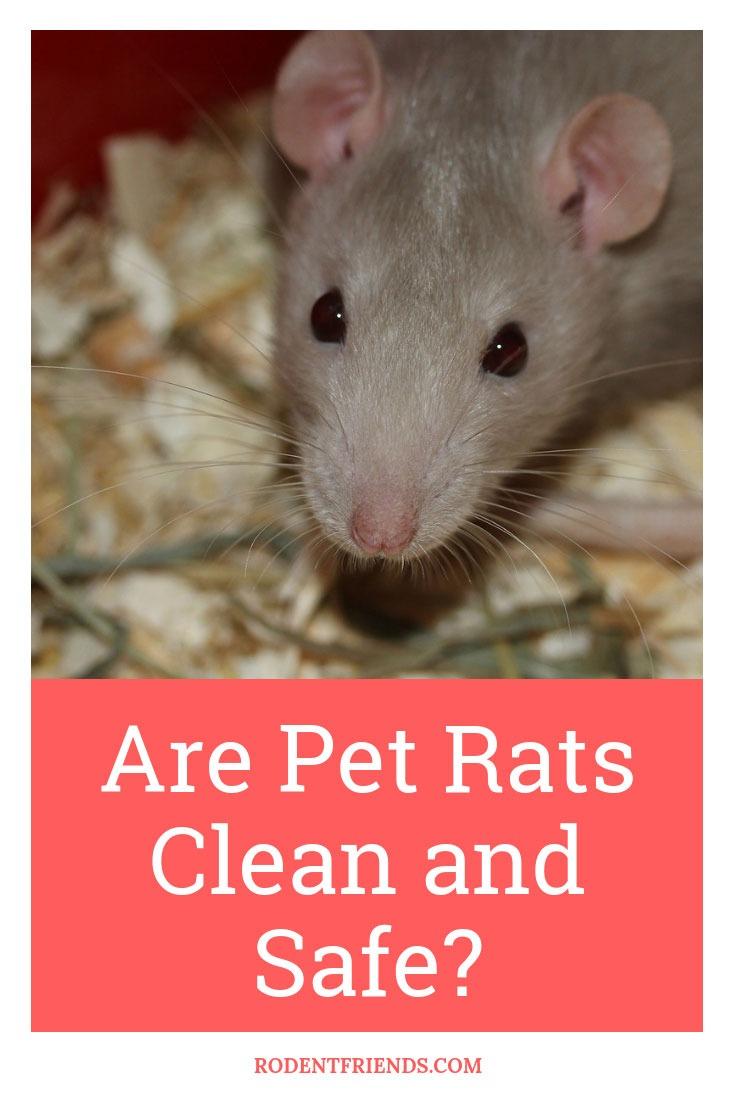 Are Pet Rats Clean And Safe - To many people's surprise, they can be as clean as other pets, or even more!