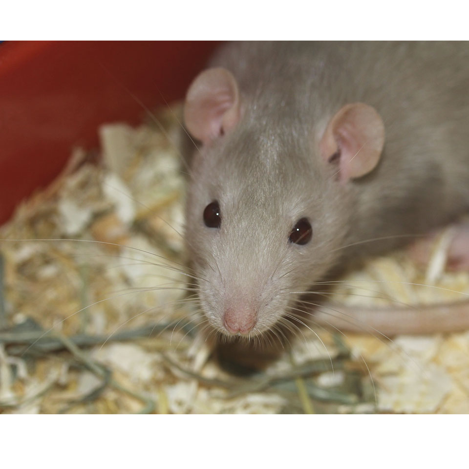 Are Pet Rats Clean And Safe - Let's break the myth of pet rats carrying all sorts of disease!