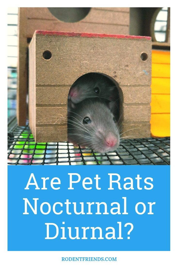 Are Pet Rats Nocturnal Or Diurnal - Everything you need to know about pet rats!