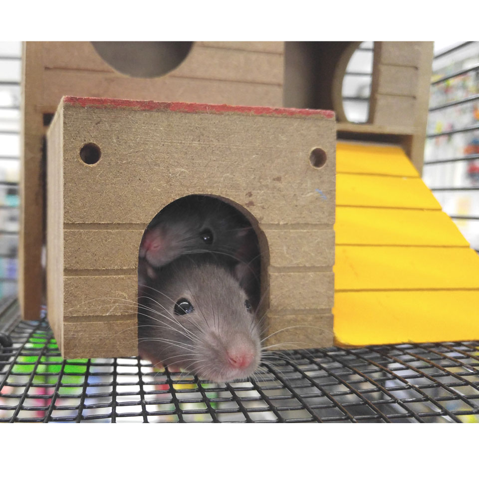 Are Pet Rats Nocturnal Or Diurnal, here's what you need to know!