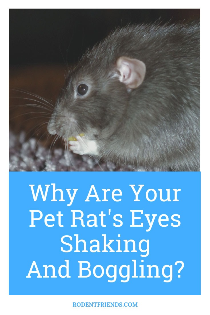 Are Your Pet Rats Eyes Boggling And Shaking - here's why!