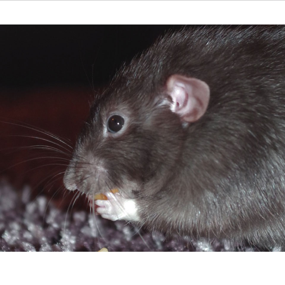 Are Your Pet Rats Eyes Boggling And Shaking - Find out the reason why!