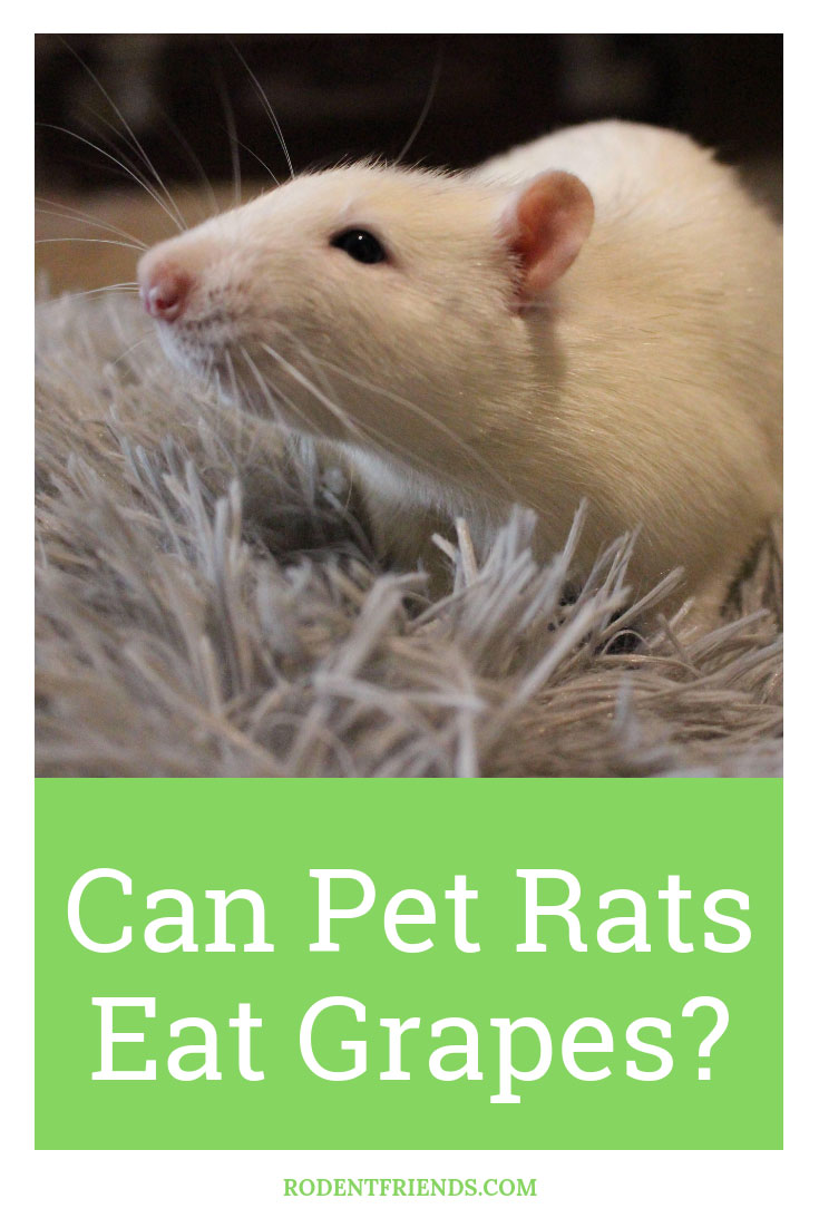 Can Pet Rats Eat Grapes - It mostly depends on the part of the grape! They are a delicious treat for pet rats.
