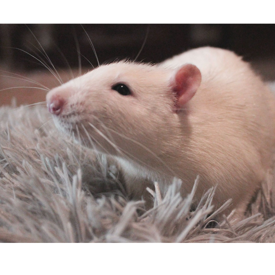 Can Pet Rats Eat Grapes - Find out how to give grapes to your pet rats!