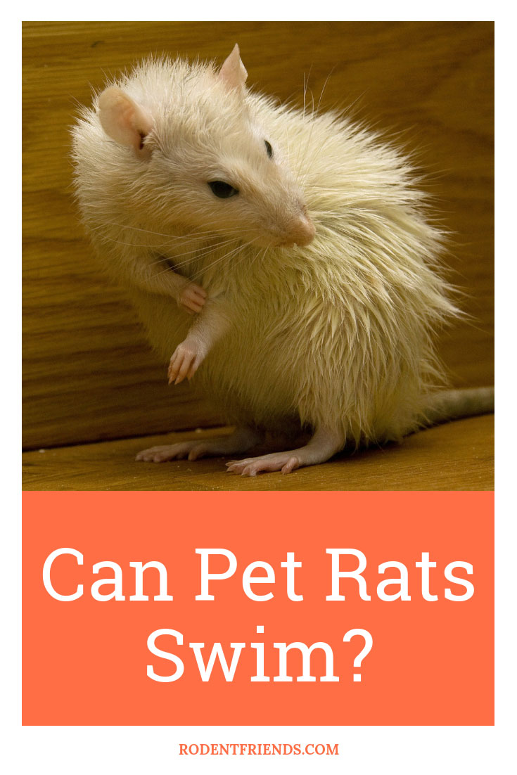 Can Pet Rats Swim - Let's destroy the myth of rat swimming! Every pet rat is different.