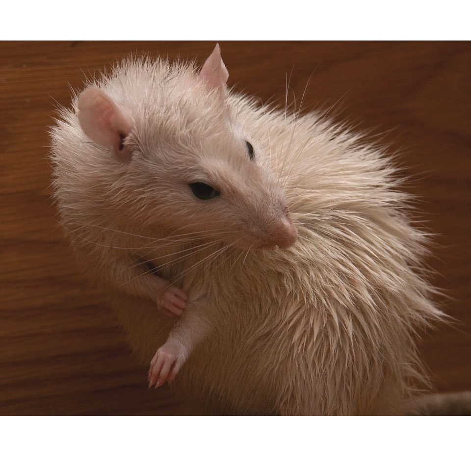 Can Pet Rats Swim - It mostly depends on the rat, but there are ways to teach them to swim!