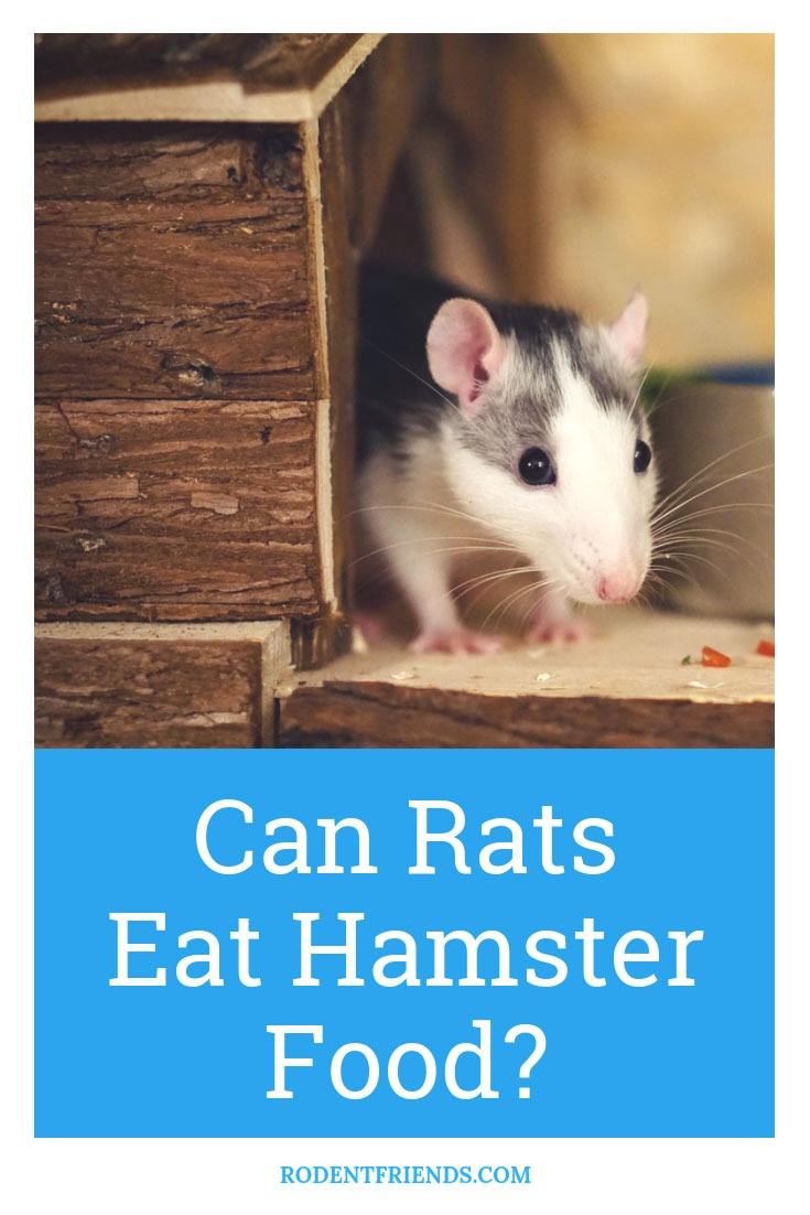 Can Rats Eat Hamster Or Gerbil Food? - Rodent Friends