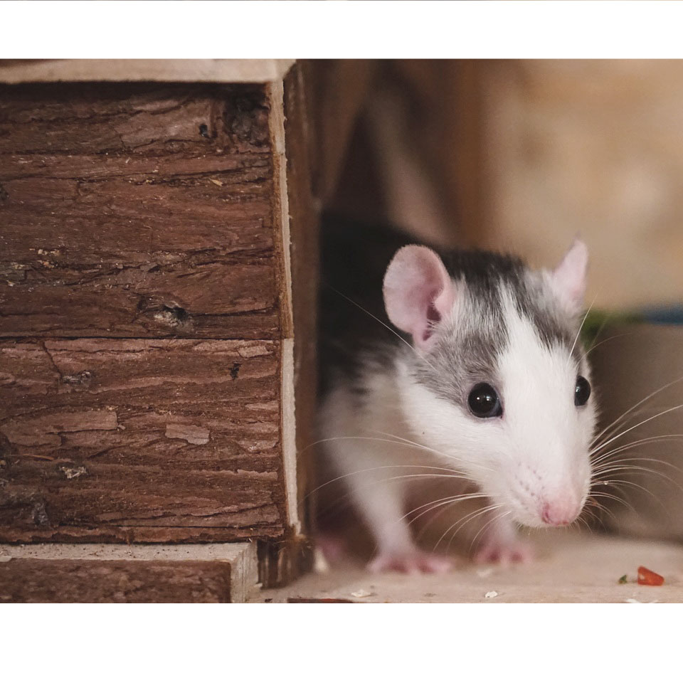Can Rats Eat Hamster Food - Here's what you need to know at Rodent Friends!
