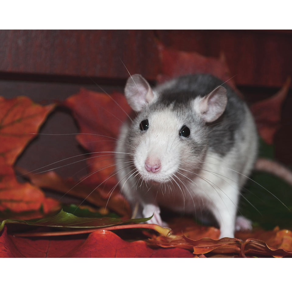 Can Rats Eat Tomatoes - Some parts are very good for them! Others, not so much, find out more!