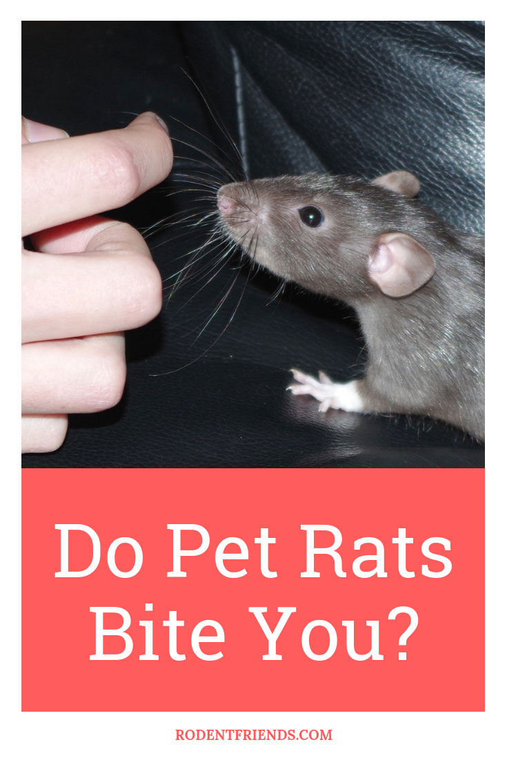 Do Pet Rats Bite You - There are several reasons for this to happen and the risks involved, find out more in my full post!