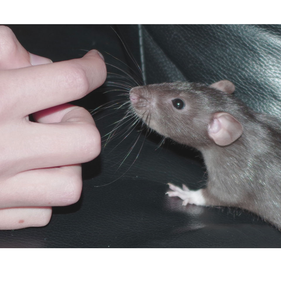 Do Pet Rats Bite You - A pet rat can bit you now and then, but there are reasons for it! Find out more on my post on Rodent Friends