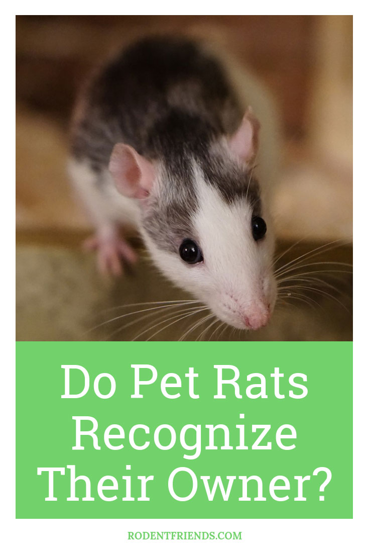 Do Pet Rats Recognize Their Owner - Pet Rats have terrible eyesight, but that doesn't mean they can't recognize you in other ways!