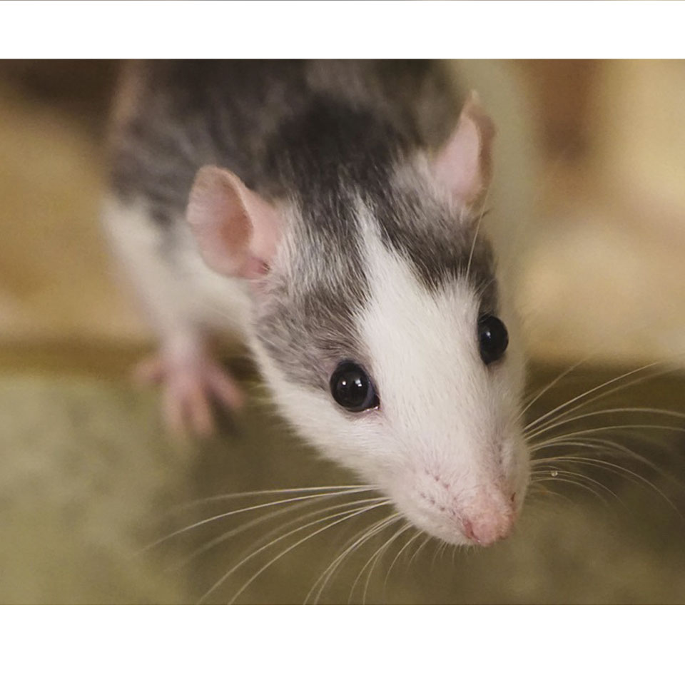 Do Pet Rats Recognize Their Owner - There are several ways pet rats recognize their owner, here are some of them!