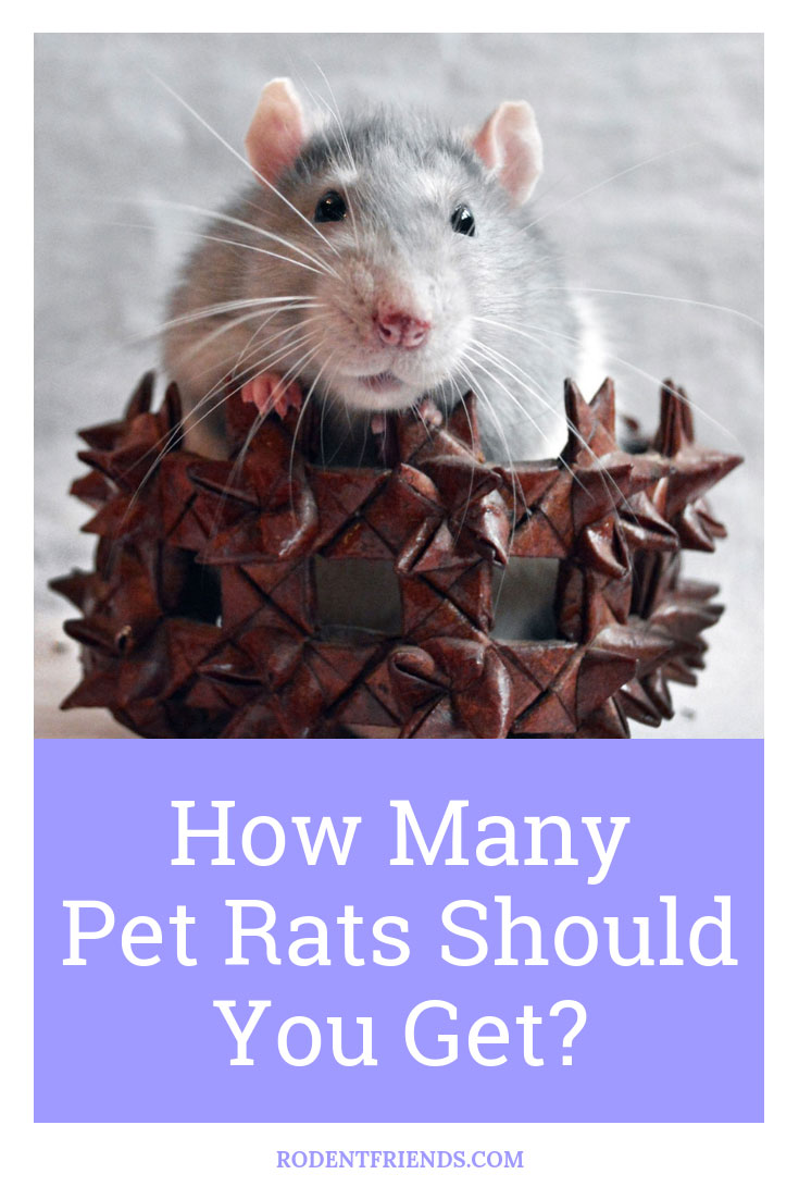 How Many Pet Rats Should You Get - This question is easier to answer than it seems, but it depends on a few things! Check the full post here on Rodent Friends