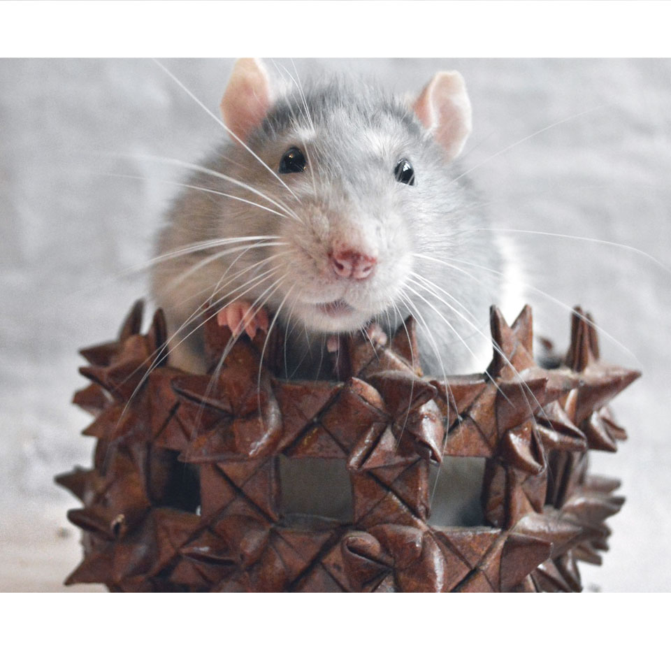 How Many Pet Rats Should You Get - It always depends on a few factors, so let's talk about them!