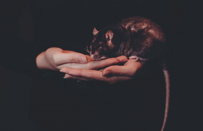 How Big can a pet rat be - here's the average size of a pet rat, they don't vary much from what you can see in the image.