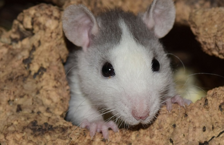 If your pet rat is scratching more than usual, they might have fleas! Here's what you need to know.