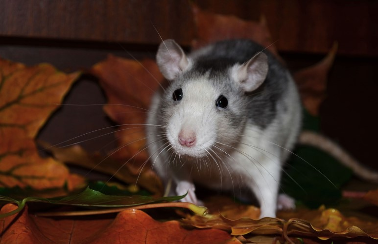 Pet rats recognize when they are being called by their name! You just need to teach them this neat pet rat trick.