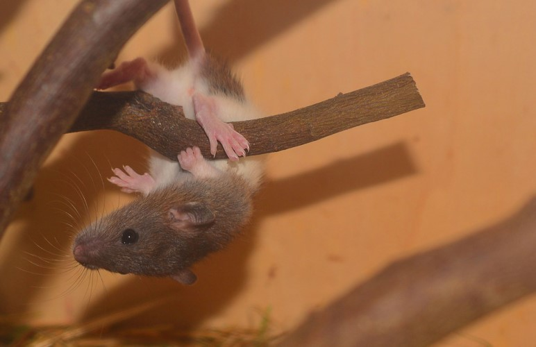 Pet rats are actually amazing jumpers, but some are a bit scared. Teach them this pet rat trick so they can jump better!