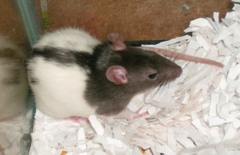 There are a few DIY projects that you can use for your pet rats bedding! Here's a few examples.