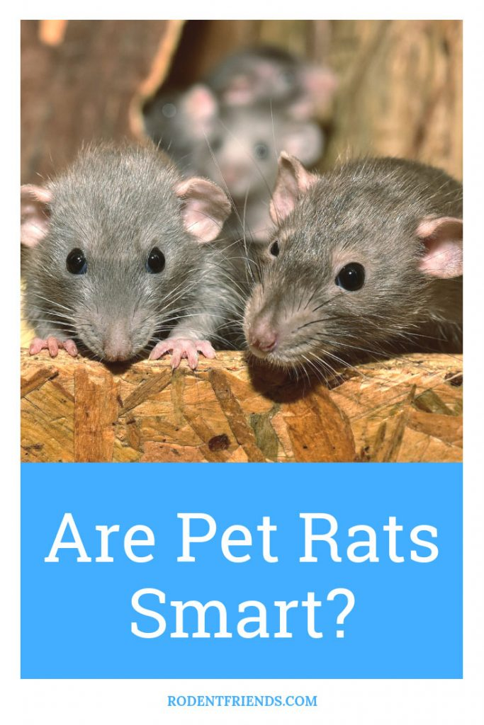 Are Pet Rats Smart - Pet rats can learn tricks, recognize their owners and so much more! Here's what you need to know.