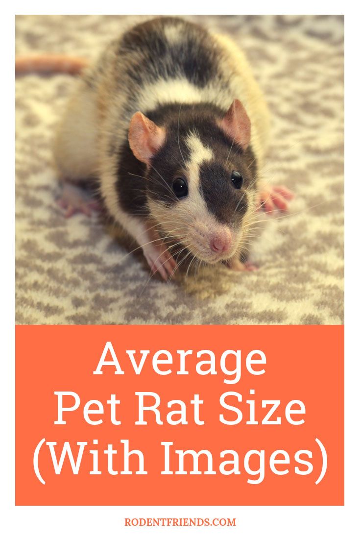Average Pet Rat Size With Images! Learn how big do pet rats get, and how tiny they are when they are born!