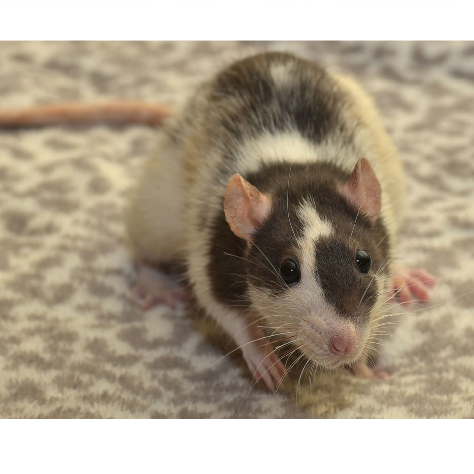 Average Pet Rat Size - Pet rats come in many shapes and sizes! Here's what you need to know.