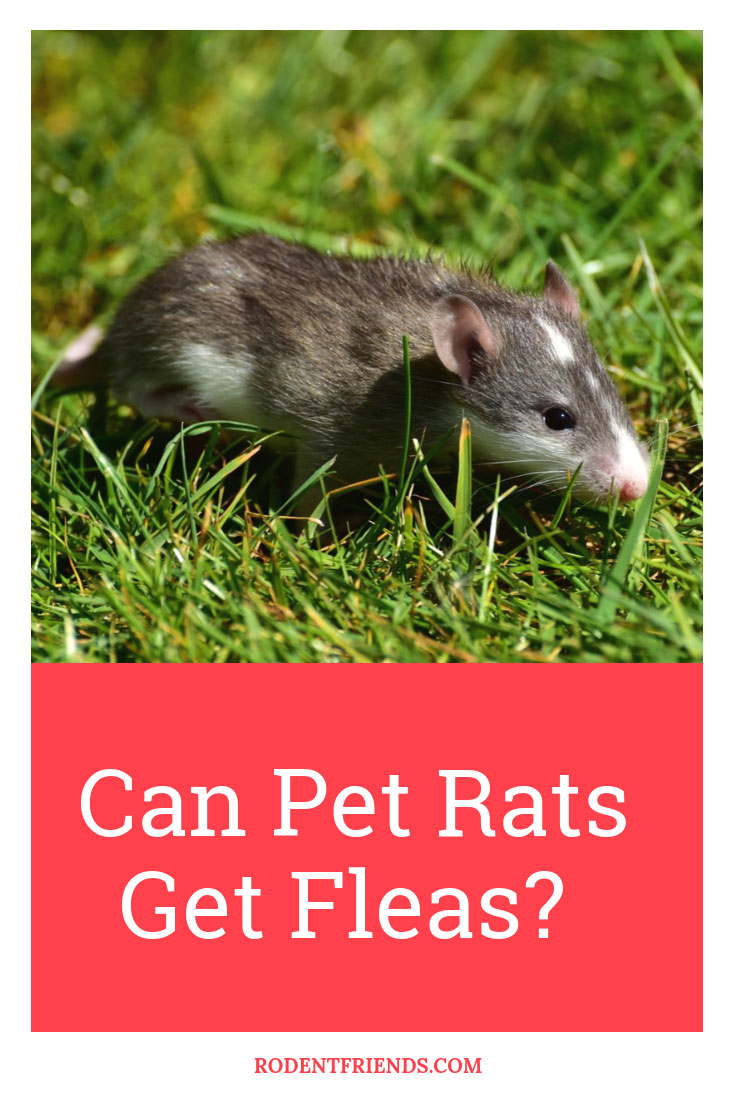 Can Pet Rats Get Fleas - What you need to know and do when your pet rat has Fleas!