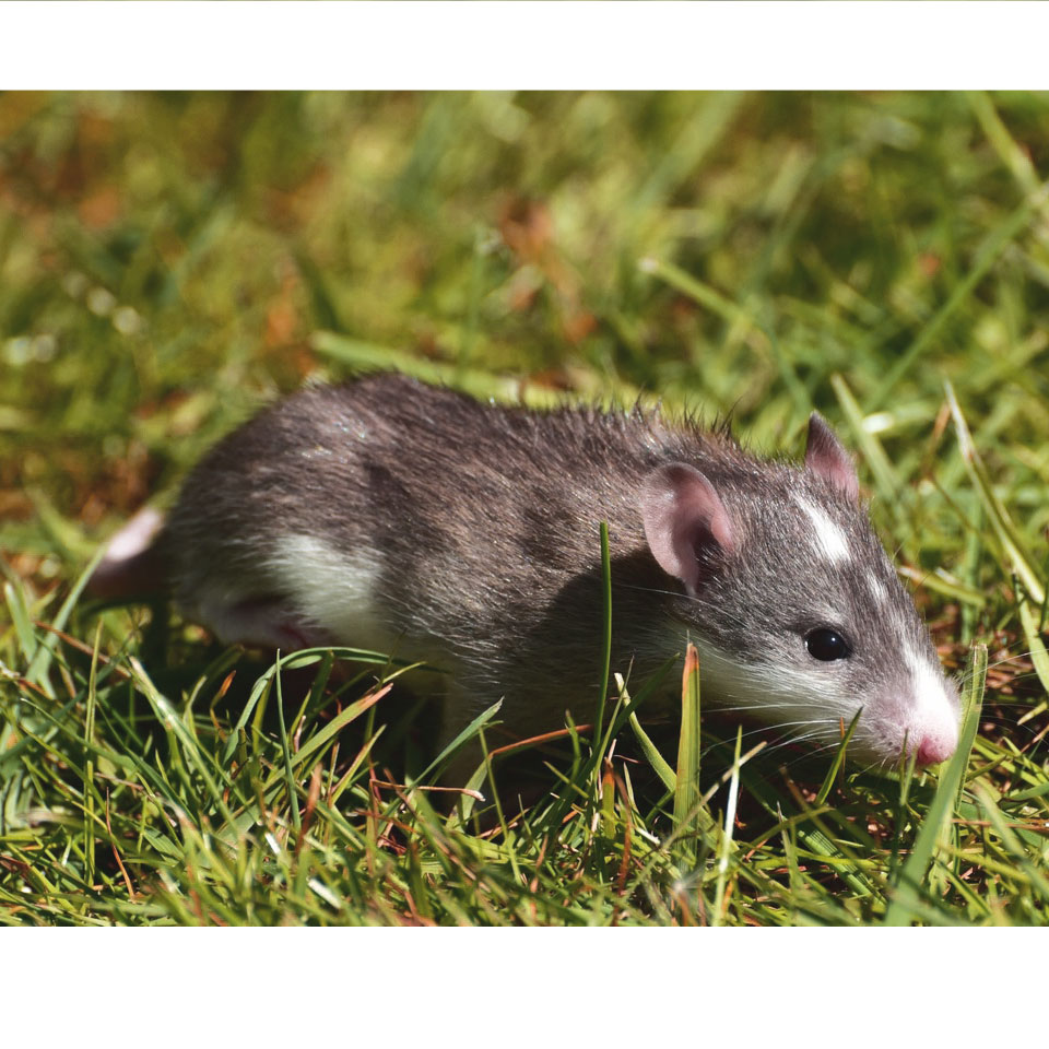 Can Pet Rats Get Fleas - If you're noticing your pet rat scratching more than usual, here's what you need to know about fleas in pet rats!