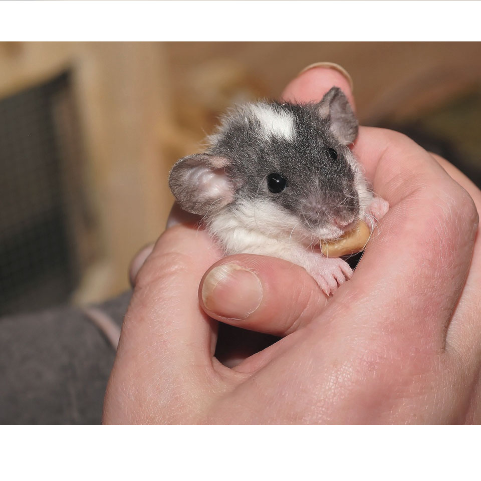 Can Pet Rats Make You Sick - These adorable rodents actually don't carry a lot of diseases that hurt humans, but there are exceptions!