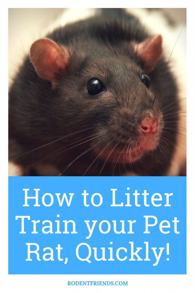 How To Litter Train Your Pet Rats Quickly - A Step By Step Guide On Training Your Pet Rat To Use The Bathroom!