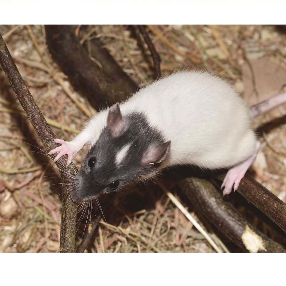 The Best Bedding For Pet Rats - Rats need some proper bedding! Here's the best bedding for pet rats, and what you shouldn't use!