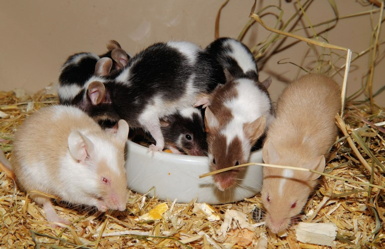 There are all sorts of pet rat breeds, look at all those colors as well!