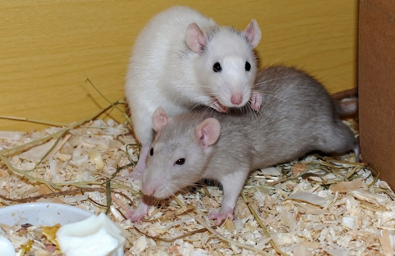 Pet rats love having their buddy nearby. As well as their owner! Pet rats are very social.