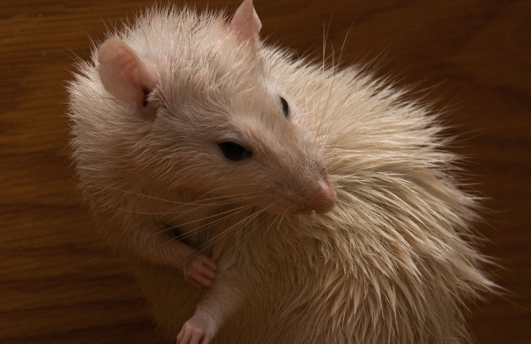 Pet rats are constantly cleaning themselves, almost like cats! They also rarely need an actual bath.