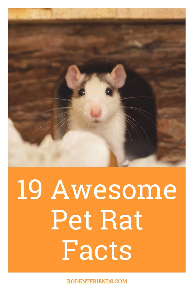 19 Awesome Pet Rat Facts - Interesting Pet Rat Facts that you didn't know about!
