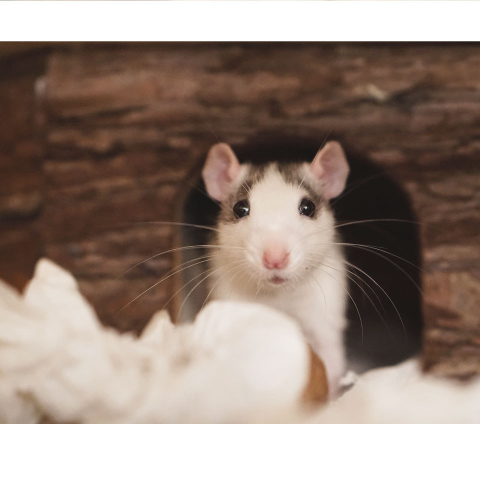 19 Awesome Pet Rat Facts - Facts for rodent lovers!