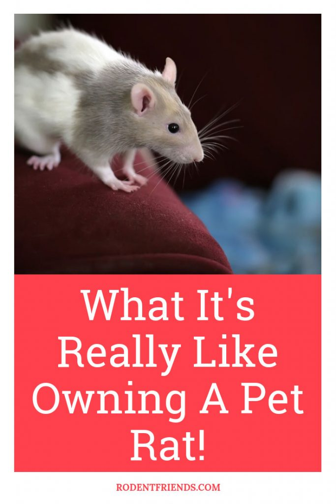 What Its Really Like Owning A Pet Rat - Pet rats have many pros and cons! Here's how it's actually like owning a pet rat.