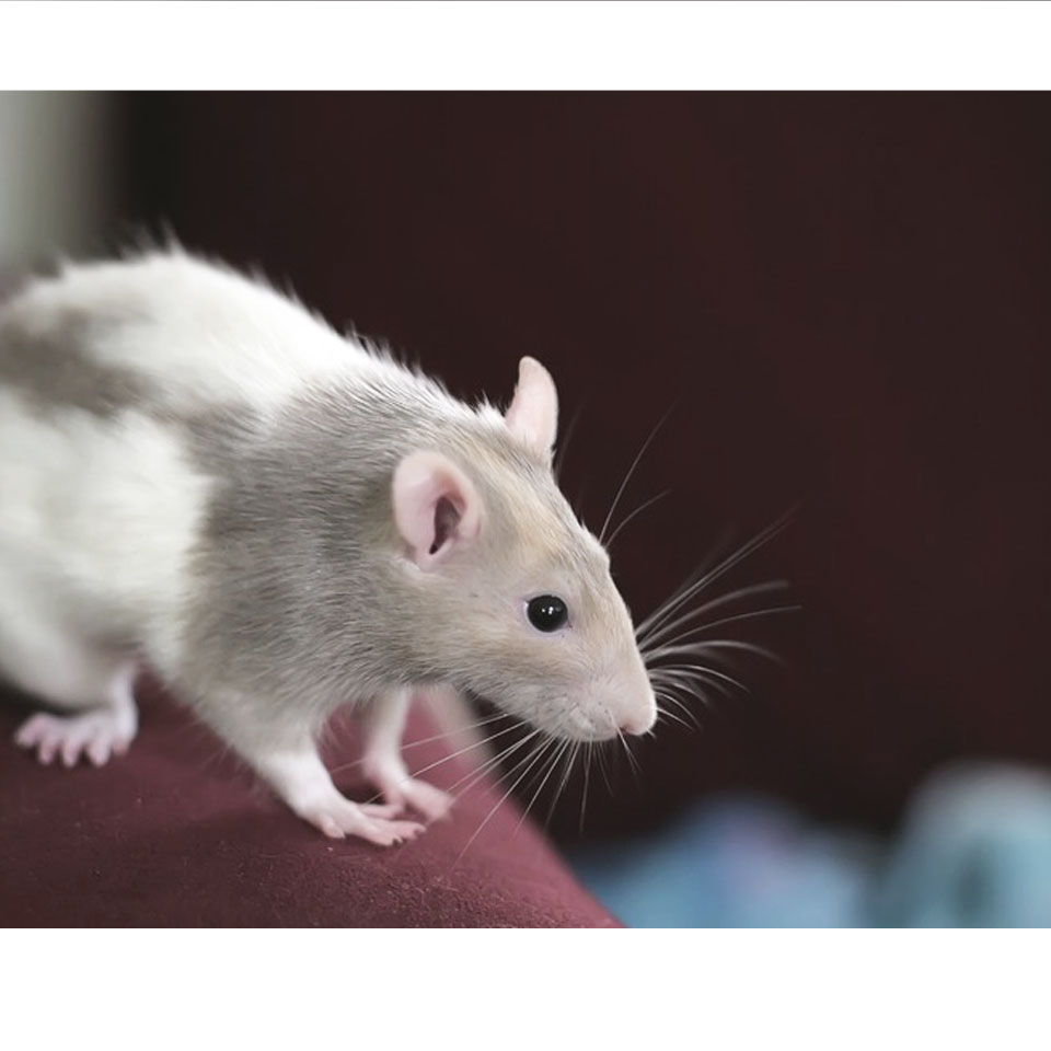 What Its Really Like Owning A Pet Rat - Everything you need to know about owning and living with a pet rat!