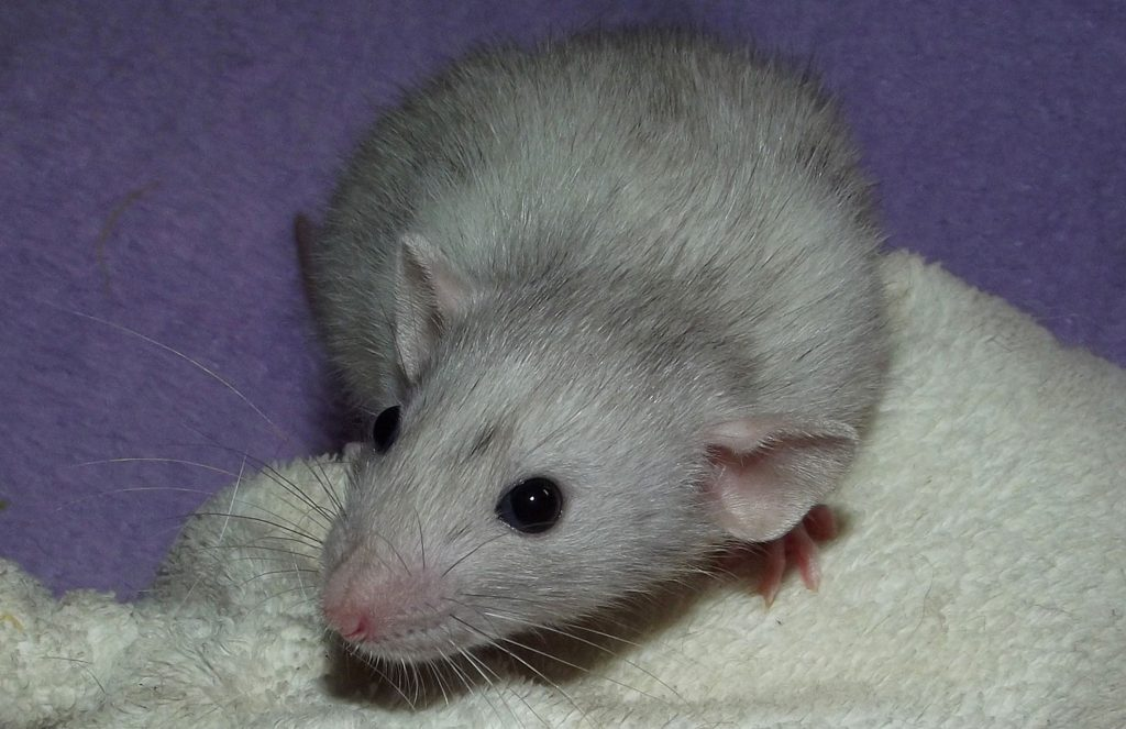 Pet Rat during the day are pretty quiet.